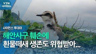 해안사구 훼손에 흰물떼새 생존도 위협받아 / YTN 사…