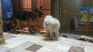 لحظه انقضاض كلب جيرمن على كلب لولو شاهد رد الفعل