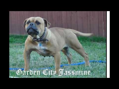 ONLY ORIGINAL OLDE ENGLISH BULLDOGGE ARE LEAVITTBLOODLINES