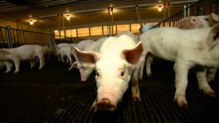 "VetsOnCall - Dr. Ruen at the pig nursery: ""Care is better than ever"""