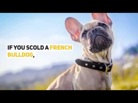 9 Facts About French Bulldogs