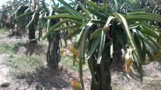 Mt Balungao Dragon Fruit Farm, Balungao Pangasinan;napudot road