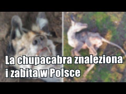 Domniemana chupacabra została zabita we wsi pod Włocławkiem