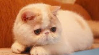 Смешные кошки  №8 -  .Знаменитые экзотические