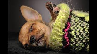 Маленькие собачки чихуахуа мёрзнут