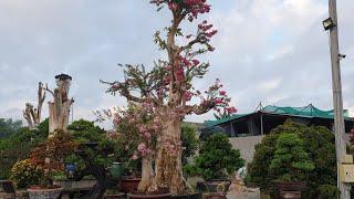 SH.2544.Những cây Bằng Lăng sau khi ghép Tường vi sẽ cho chúng ta những cây Hoa đẹp rực rỡ là thế.