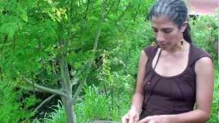 עץ המורינגה by Sivan kedmy