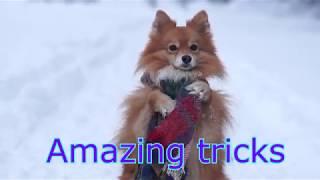 Mittelspitz Charlie & Amazing dog tricks /Удивительные трюки Среднего Шпица Чарли :)