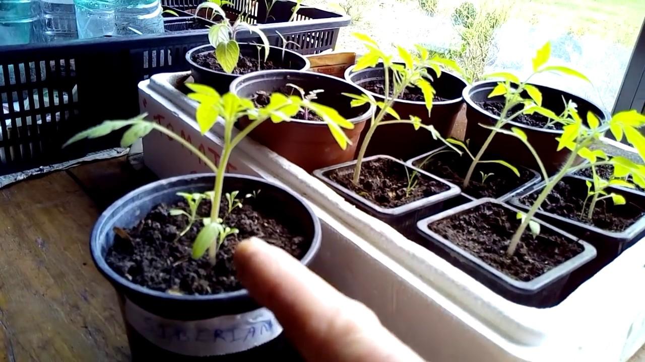 planter tomates cerises planter des tomates comment. Black Bedroom Furniture Sets. Home Design Ideas