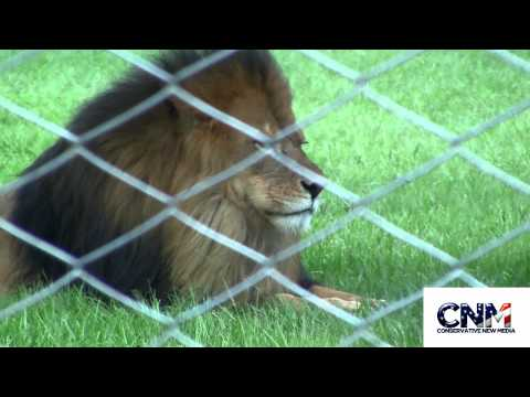 Male & Female Lion together & Female Gently Swats the Male w/ Her Paw - in 1080P HD