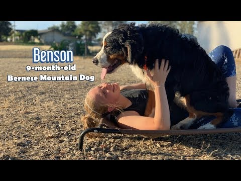 9-Month-Old Bernese Mountain Dog 'Benson'   Puppy Obedience   Bay Area Dog Trainers