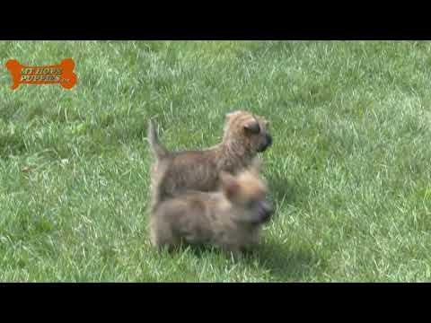 Wayne Weaver's Cairn Terrier puppies for sale