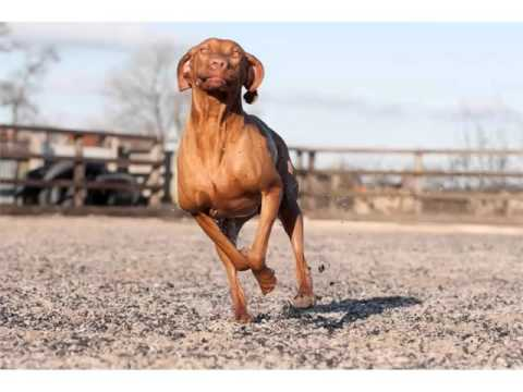vizsla-dog-breed-|-collcetion-of-pictures-of-breed-vizsla-dogs
