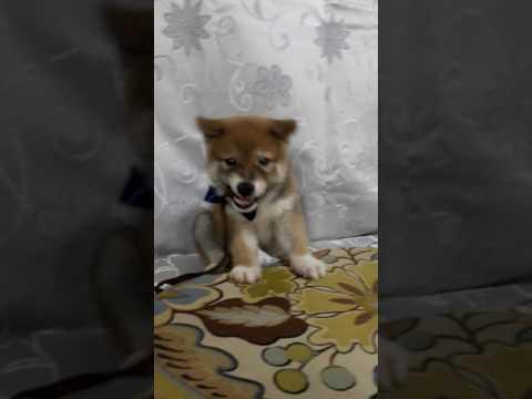 PuppyFinder.com : Curry the Shiba Inu puppy