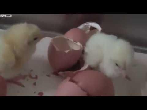 ひよこ シュレッダー 卵