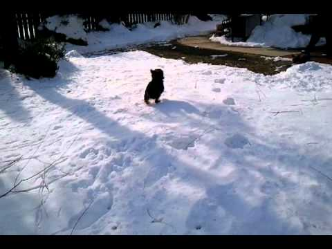Teacup Yorkies Playing In Snow Youtube