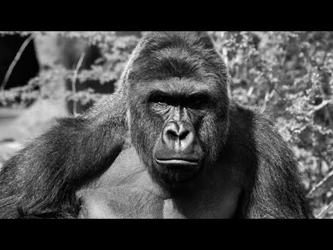 Lose Your Kid (Eminem Harambe Parody)