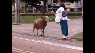 Video Cabra aterroriza personas por la calle. download MP3, 3GP, MP4, WEBM, AVI, FLV November 2017