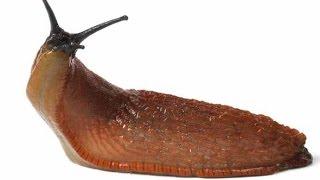 How To Control Slugs - آموزش مبارزه با حلزون و لیسک