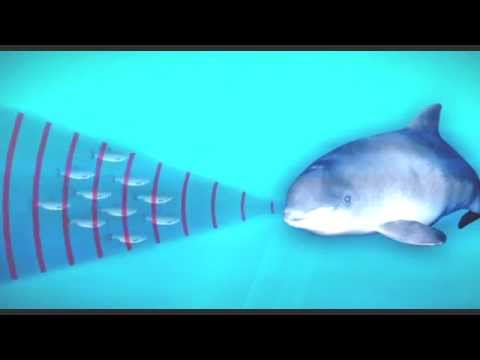 How porpoises use sound to hunt