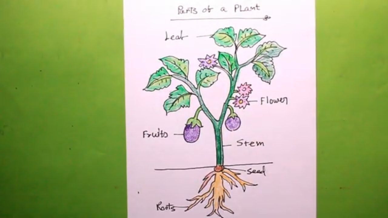 How To Draw A Plant Let S Draw The Parts Of A Plant Plant Drawing