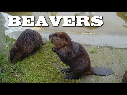 Thumbnail: All About Beavers for Children: Animal Videos for Kids - FreeSchool