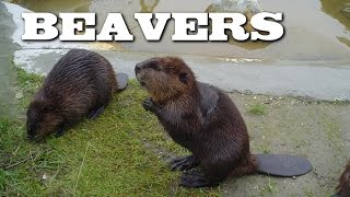 All About Beavers for Children: Animal Videos for Kids - FreeSchool