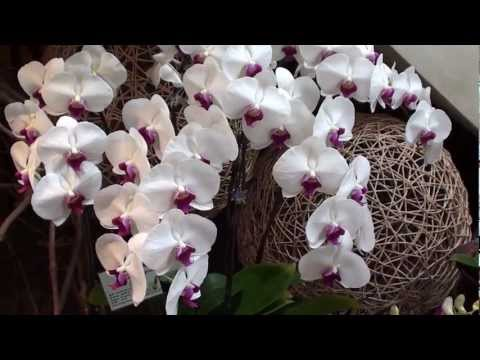 Share beautiful Orchid flower from Hong Kong garden with classifiedspost 13-03034