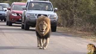 Lets Follow That Lion