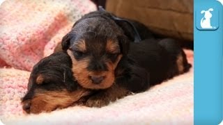 18 Day Old Precious Airedale Puppies Nap on a Blanket - Puppy Love