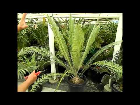 Jungle Music Palms of the Week #6