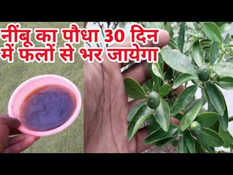 नींबू का पौधा 30दिन में फलों से भर जायेगा