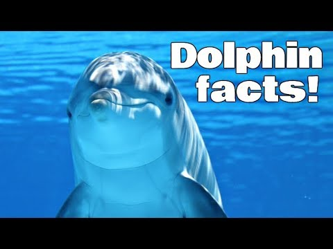 Dolphin Facts For Kids | Classroom Edition Animal Learning Video