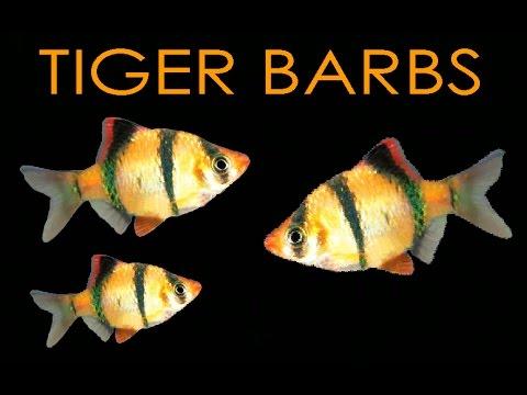 SPOTLIGHT: Tiger Barbs