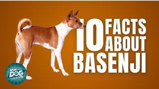 10 Facts About The Basenji | Must Know Facts for the Owner