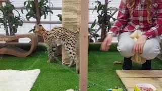 Редкие домашние кошки в Аптекарском огороде. Январь 2019