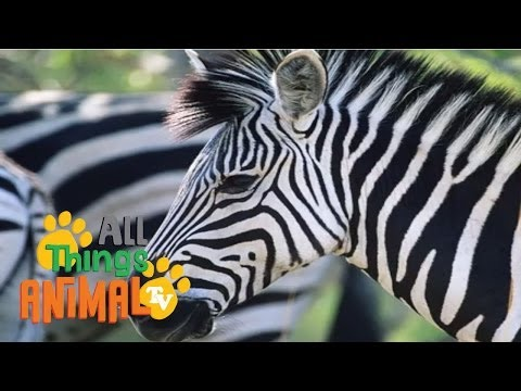 Zebra: Animals For Children. Kids Videos. Kindergarten