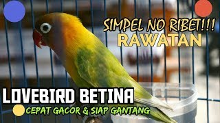 Download lagu Lovebird Betina : Rawatan lovebird BETINA agar Cepat GACOR dan siap di GANTANG
