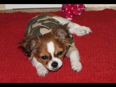 Shih Tzu/Chihuahua SHICHI growing up ! SO cute !!!