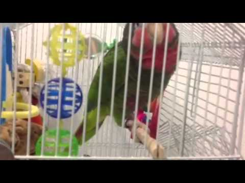 Coti ,Cuban amazon parrot making strange noise