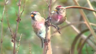 ベニヒワ(2)舳倉島 - Common redpoll - Wild Bird - 野鳥 動画図鑑