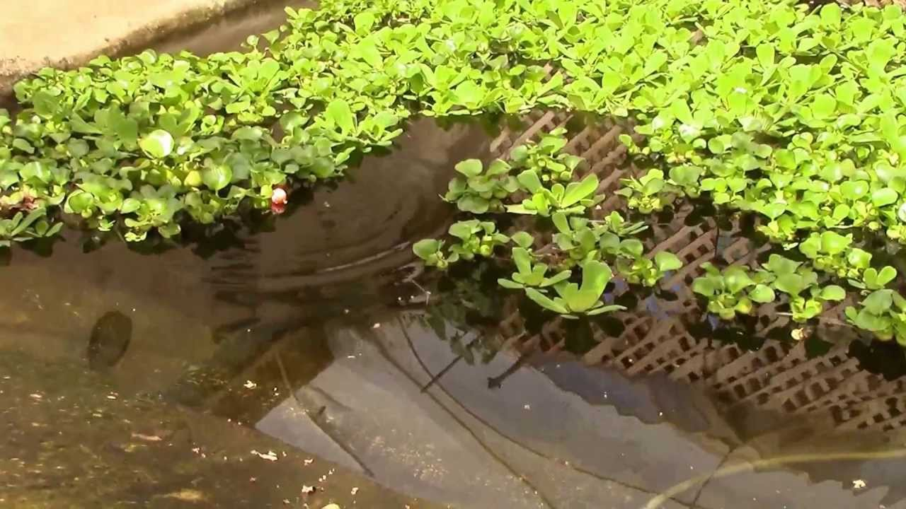Catching a tilapia fish at the garden pool youtube for Garden pool tilapia