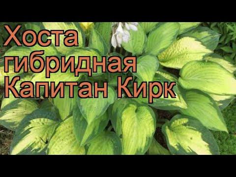 Хоста гибридная Капитан Кирк (capitan kirk) 🌿 обзор: как сажать, рассада хосты Капитан Кирк
