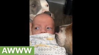 Dogs take turns giving newborn baby kisses