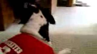 Bull Terrier Predicts Ohio State Vs. Michigan