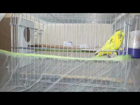 Muhabbet Kuşu Yuvalığını Ne Zaman Takmalıyım Budgerigars Parakeet Budgerigar