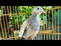 Suara Burung Perkutut Masteran  Mp3 - Mp4 Download