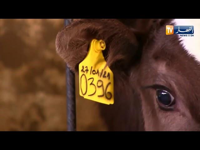 غرداية  مشتلة لإنتاج أفضل سلالات البقر الحلوب تجربة شبابية رائدة