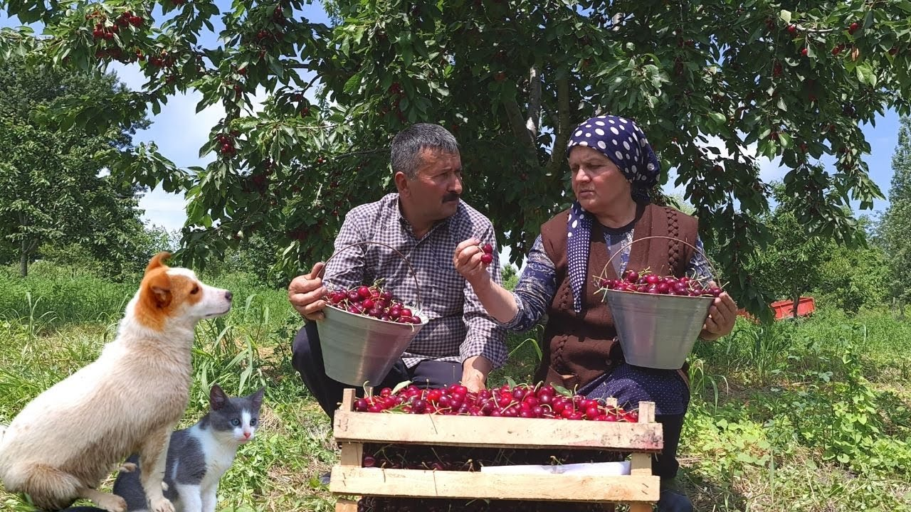 Harvesting Cherries and Preserve for Winter, Outdoor Cooking