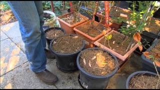 The Garden Gurus -  Dwarf Fruit Trees